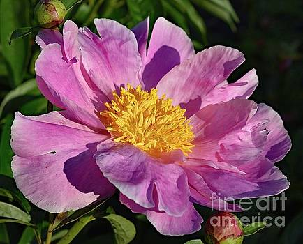 Cindy Treger - Morning Exposure Bowl of Beauty Peony