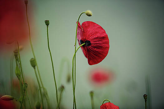 Morning Poppy Flower by Nailia Schwarz