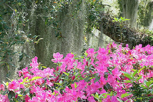Moss Covered Oak and Pink Azaleas by Bruce Gourley