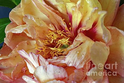 Cindy Treger - Most Stunning Flower - Itoh Peony