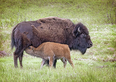 Mother and Calf by Joan Carroll