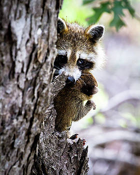 Mother Raccoon Moving Her Kit  by Rick Grisolano Photography LLC