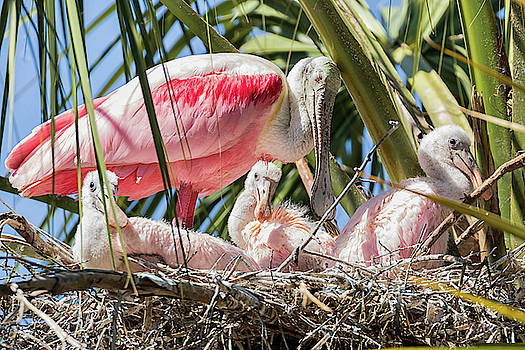 Roseate Spoonbill Mother Taking a Rest by Darrell Gregg