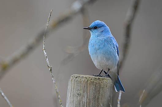 Mountain Bluebird  by Joy McAdams