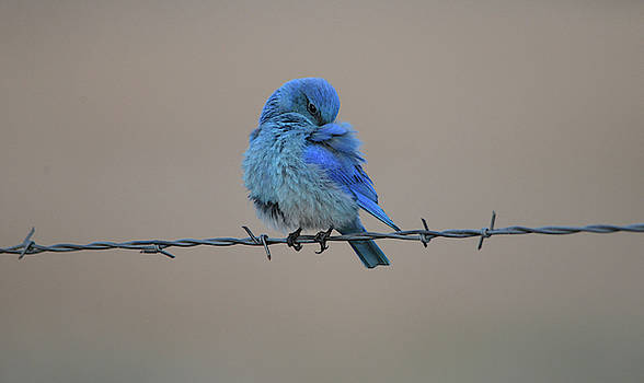 Mountain Bluebird- The Look by Whispering Peaks Photography