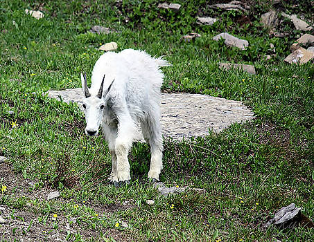 Mountain Goat Yearling by Deborah Kinisky