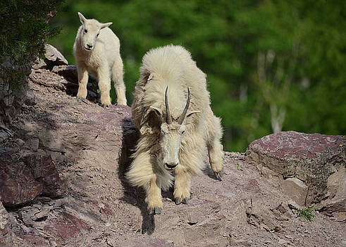 Mountain Goats- Nanny and Kid by Whispering Peaks Photography
