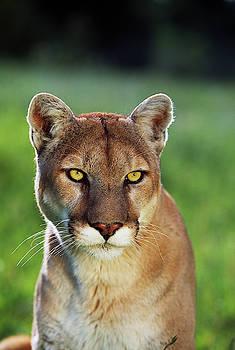 Mountain Lion Felis Concolor, Portrait by Panoramic Images