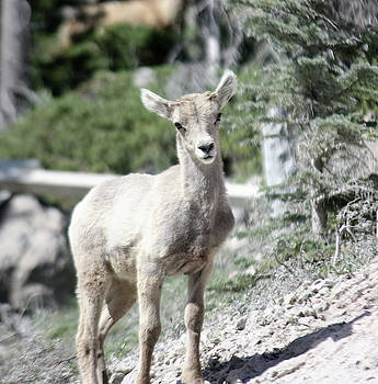 Mountain Sheep Kid  by Deborah Kinisky