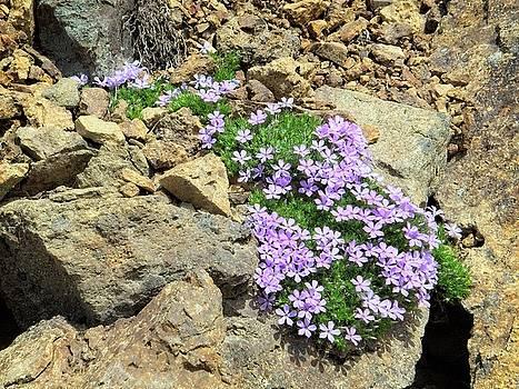 Mountain Wildflowers 1 by Allan Van Gasbeck