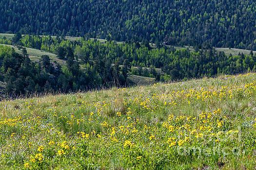 Mountain Wildflowers by Steve Krull