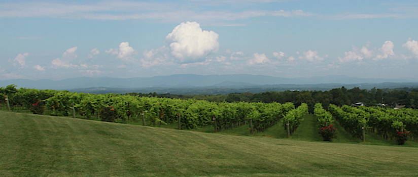 Cathy Lindsey - Mountains and Vineyard Rows