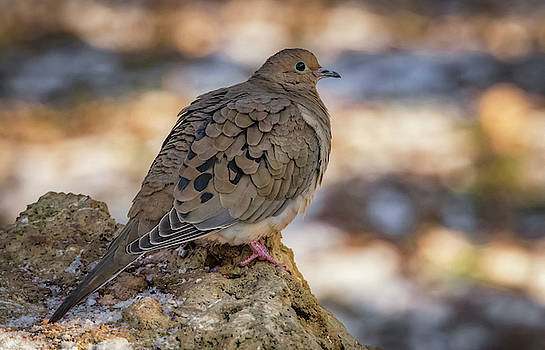 Mourning Dove Afternoon by Ray Congrove