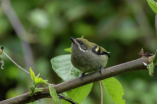 Moustached Tinkerbird by Thomas Kallmeyer