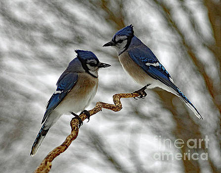 Cindy Treger - Mr And Mrs Blue Jay Having A Family Spat