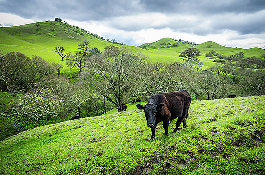 Mt. Diablo Spring Hillside Cattle by Scott McGuire