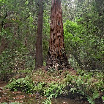 Muir Woods California Enchantment by Betsy Knapp
