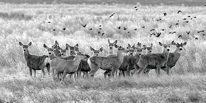 Rob Graham - Mule Deer Black and White 01