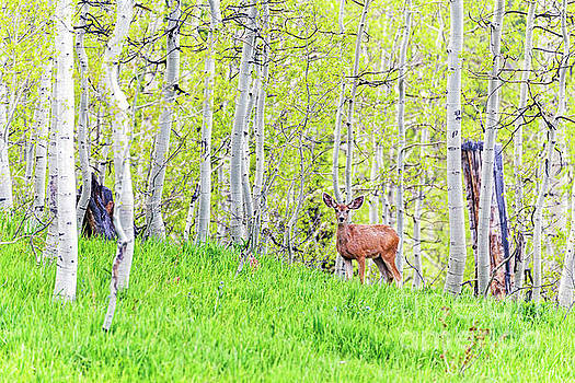 Mule Deer Doe Spring Aspen Forest by Robert C Paulson Jr