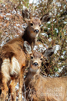 Mule Deer Pair in the Winter by Steve Krull