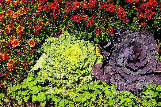 Bob Phillips - Mums and Ornamental Cabbage