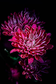 Mums by Fred J Lord