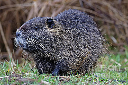 Muskrat Portrait by Natural Focal Point Photography