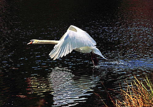 Mute Swan in Flight by Jeff Townsend