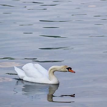 Mute Swan Squared by Teresa Mucha