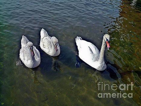 Mute swans MV_002 by Howard Stapleton