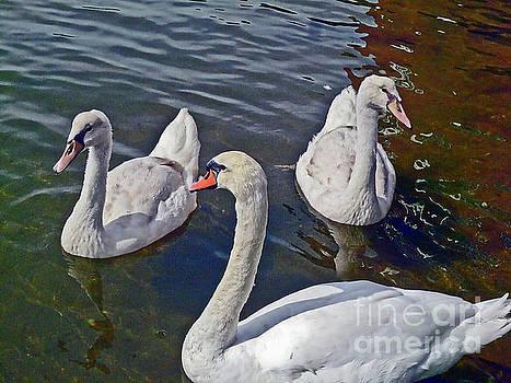 Mute swans MV_005 by Howard Stapleton