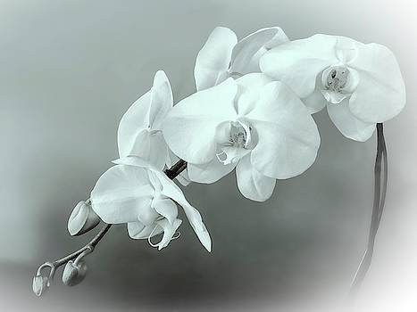Muted White Orchid Spray in BW by Christina Ford