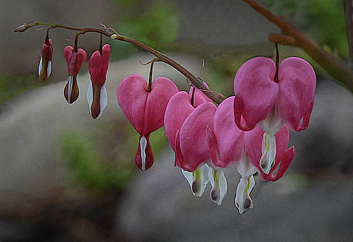 My Bleeding Heart 2  by Mary Lynn Giacomini