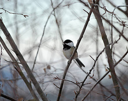 My Little Chickadee by Whispering Peaks Photography