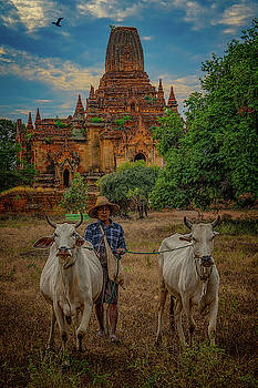 Myanmar Farmer with Cows by Chris Lord