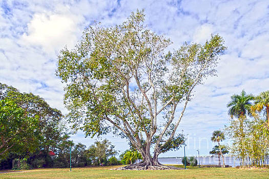 Mysore Fig Tree by Catherine Sherman