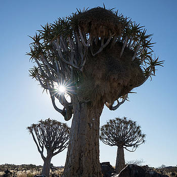 Namibia A Quiver Tree by Brenda Tharp