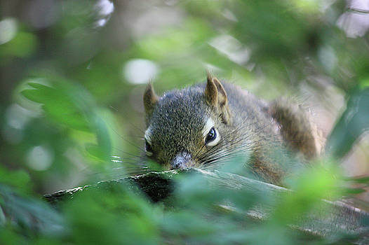 Napping Squirrel  by Deborah Kinisky