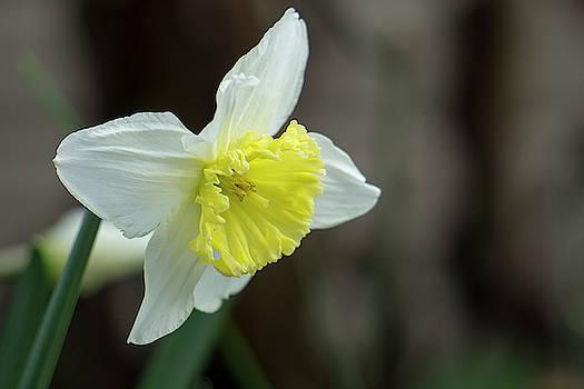 Narcissus - 19 4918 by Tari Kerss