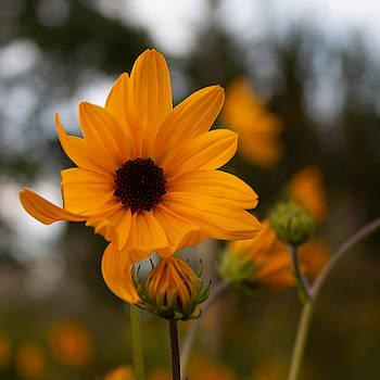 Narrowleaf Sunflower 1 by Christine Buckley