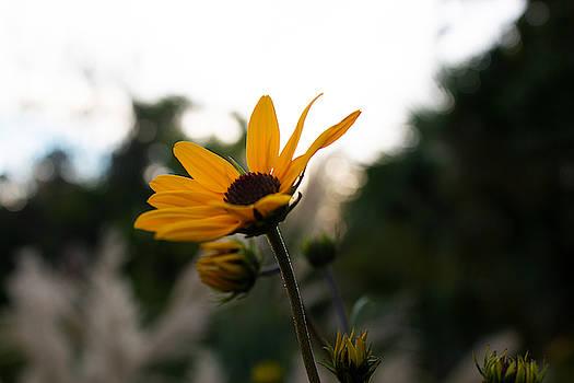 Narrowleaf Sunflower 2 by Christine Buckley