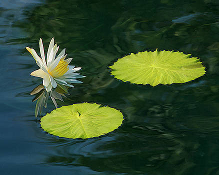 Natural Display - Water Lily and Two Lily Pads by Mitch Spence