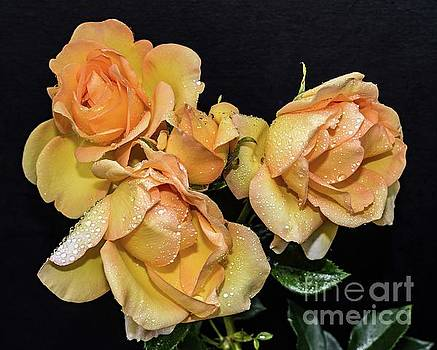 Natures Perfect Arrangement Of Gold Struck Roses by Cindy Treger