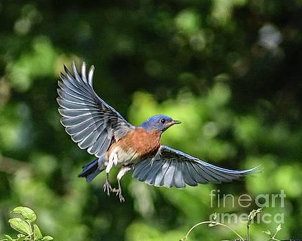 Natures Splendor Of An Eastern Bluebird by Cindy Treger