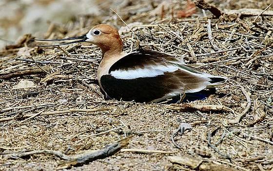 Nesting American Avolet by Craig Wood