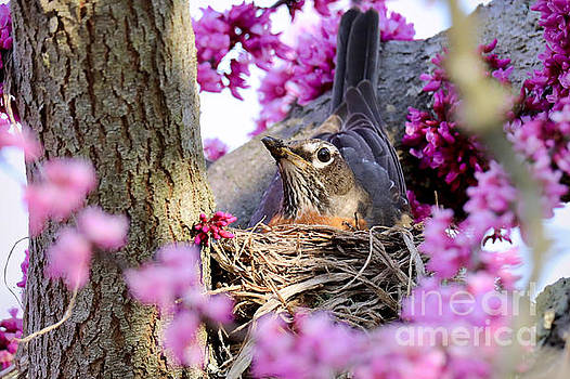 Nesting Robin with Redbud Blossoms by Rachel Morrison