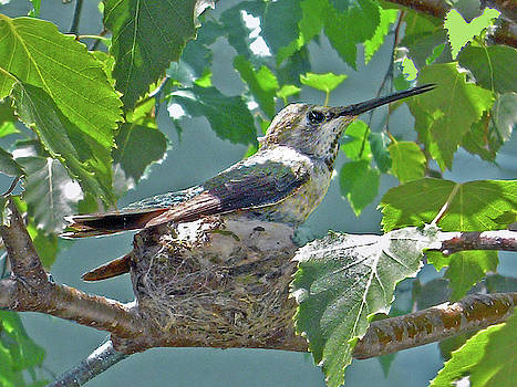 Susan Burger - Nesting