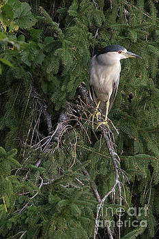 Night Heron in the Pines by Nikki Vig