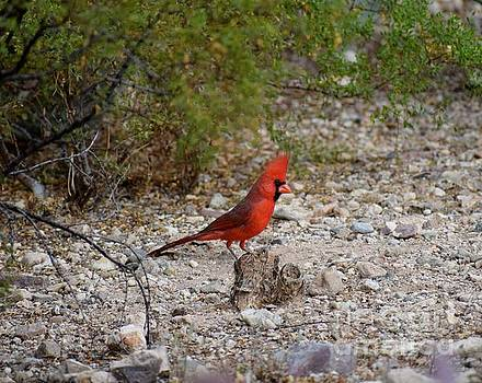 Janet Marie - Northern Cardinal Autumn Visitor
