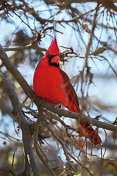 Northern Cardinal in Arizona by Fred Hood